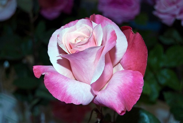 A rose by any other name essay