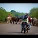 Moving Cattle / Moviendo Ganado by Uriel Akira