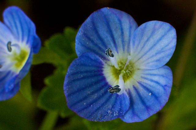 blue miniflower macro (d=~3-4mm)