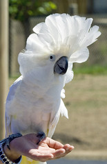 cockatoo, animal, wing, pet, bird,