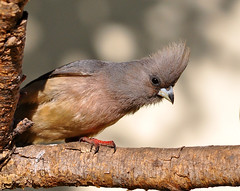 White-backed Mousebird - Photo (c) Ian White, some rights reserved (CC BY-ND)