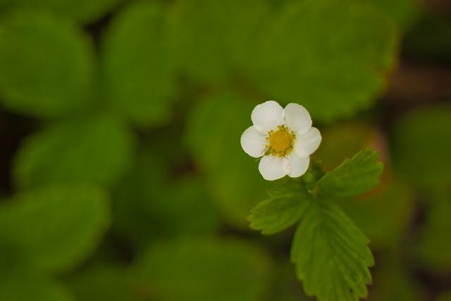Photo:Flower, Wild Strawberry By nekonomania