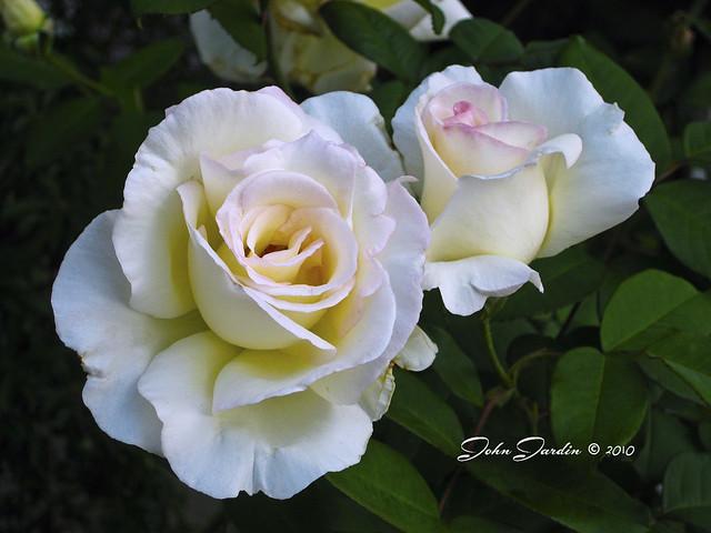 Mystery Rose