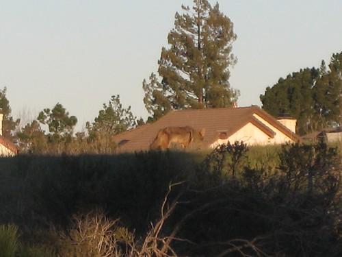 coyote, fox IMG_7466