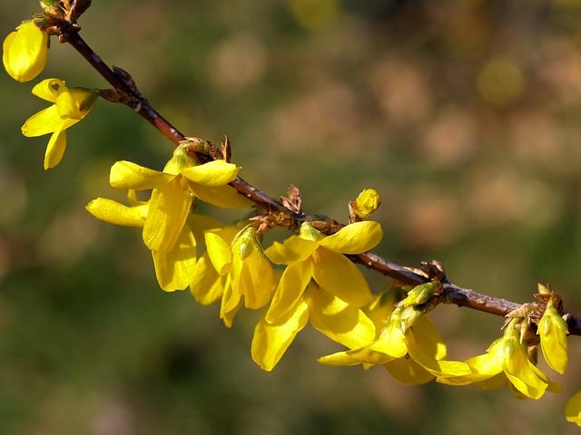 Spring flowers 14: A flowering Forsythia twig.