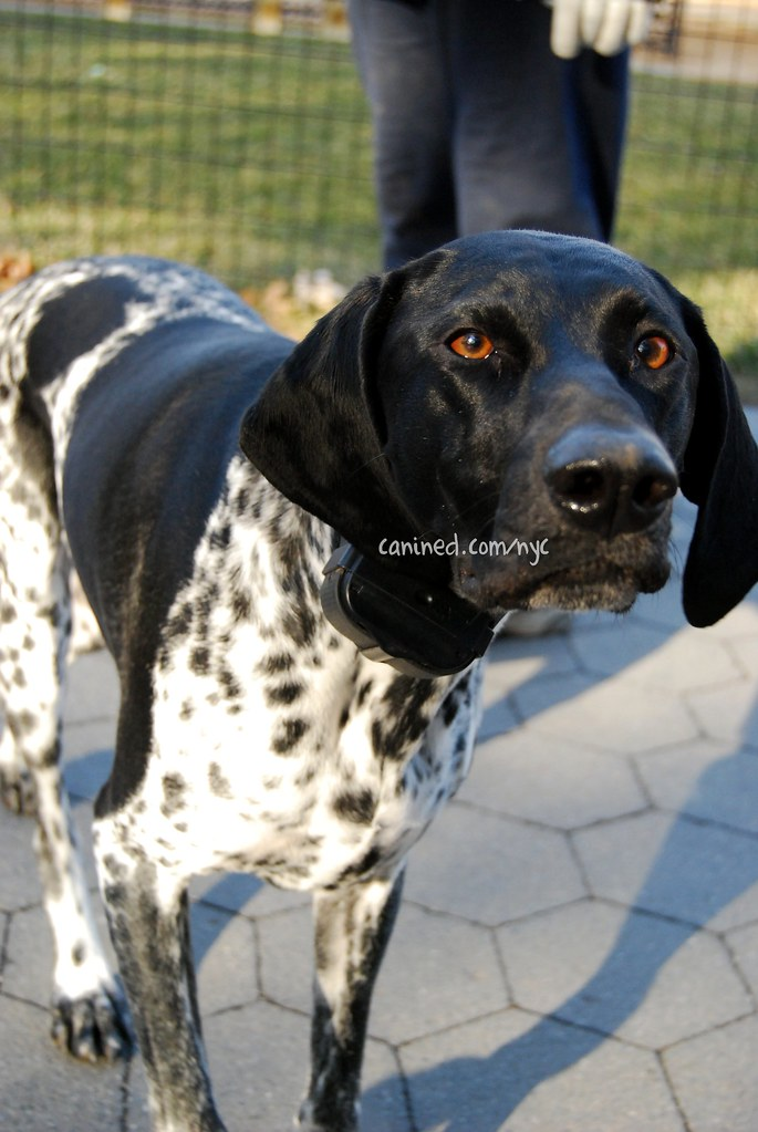 canined english pointer black white tick marking central ...