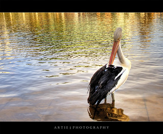 The Pelican (Revisited) :: HDR