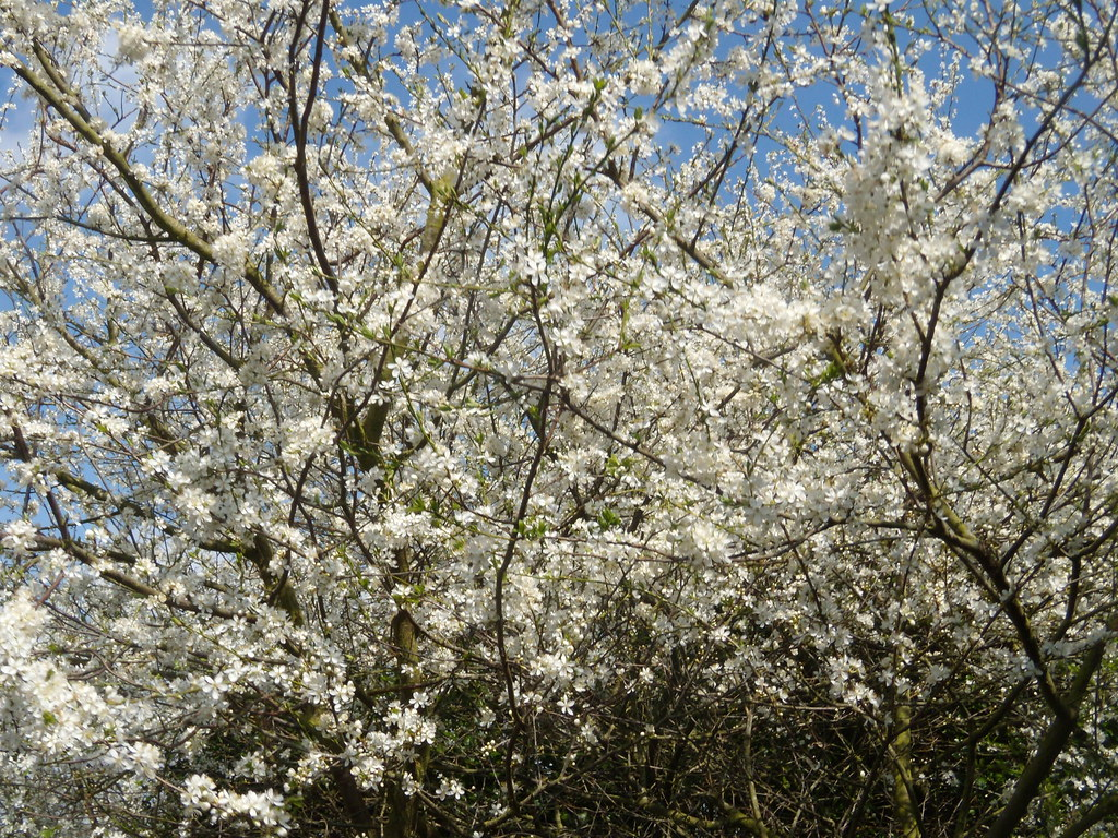 Blackthorn Staplehurst to Headcorn