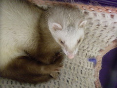 animal, weasel, mustelidae, mammal, fauna, polecat, whiskers, mink, ferret,