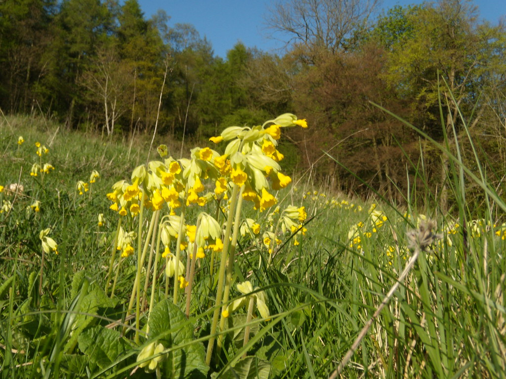 Cowslips Gomshall to Dorking