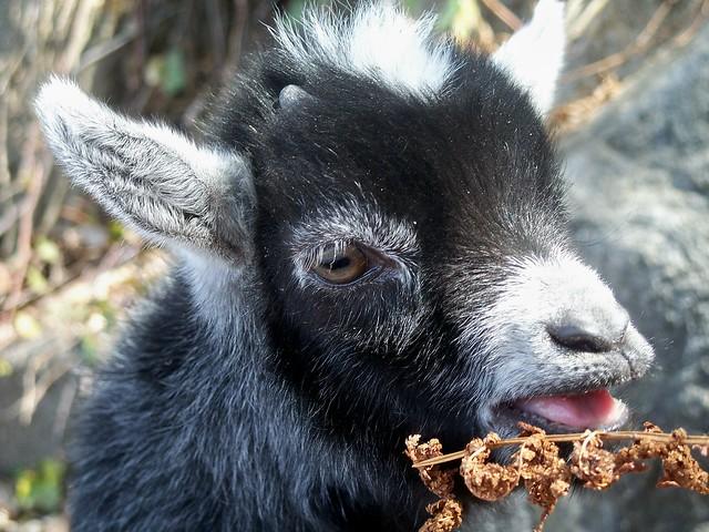 Pygmy Goat Kid. www.TheBigWRanch.com | Flickr - Photo Sharing!