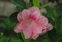 Light Pink Azalias