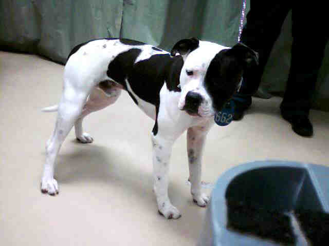 Black White Patched Male Pit Bull | Flickr - Photo Sharing!