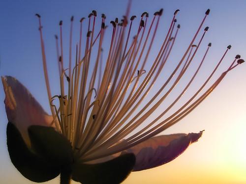 morning flower colors sunrise greece crete rethymno λουλούδι κρήτη ελλάδα πρωί χρώματα ρέθυμνο