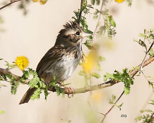 birds flickr texas sparrow texas10 buntingssparrowsalliesemberizidae passeriformesperchingbirds