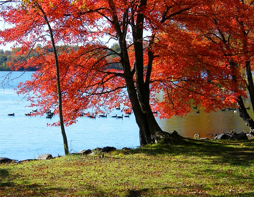 Maple tree and Ducks