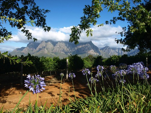 Vineyards in South Africa 1