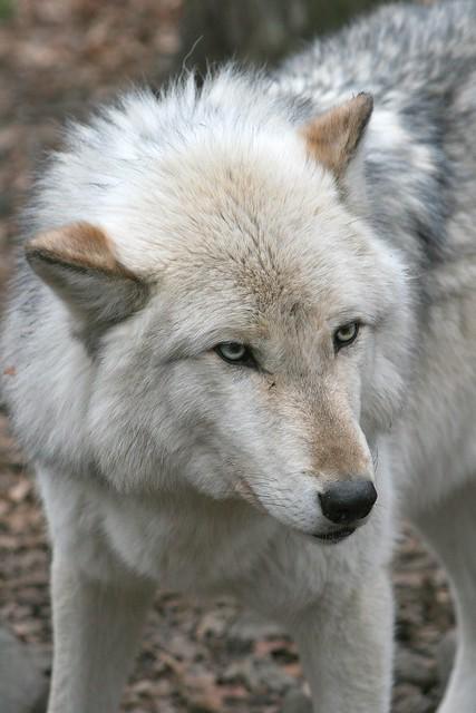 IMG#5415 TIMBER WOLF