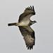 029 Osprey