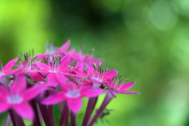 Pink Flower and Green Bokeh : HBW