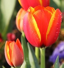 Tulip Perfection