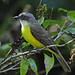 Gray-capped Flycatcher - Photo (c) Jerry Oldenettel, some rights reserved (CC BY-NC-SA)