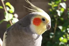 sulphur crested cockatoo(0.0), wildlife(0.0), cockatoo(1.0), animal(1.0), parrot(1.0), yellow(1.0), pet(1.0), fauna(1.0), close-up(1.0), cockatiel(1.0), beak(1.0), bird(1.0),
