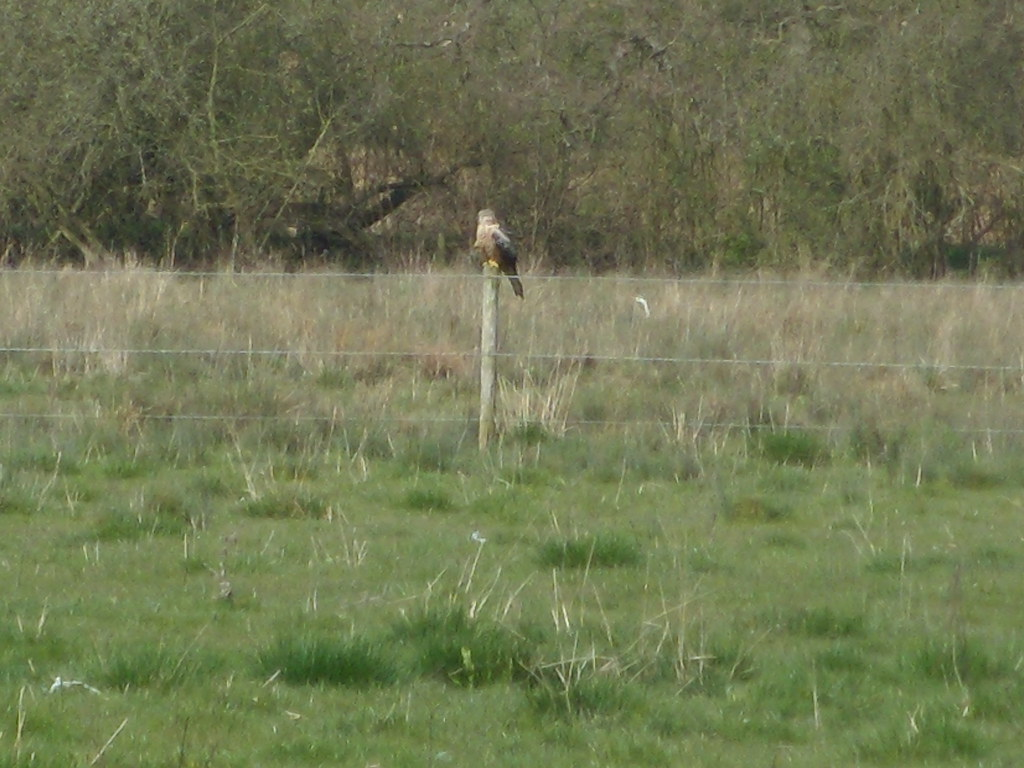 Red Kite on a post Close to the Thames Path. Marlow Circular
