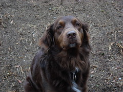 labrador retriever(0.0), boykin spaniel(0.0), dog breed(1.0), animal(1.0), dog(1.0), large mã¼nsterlã¤nder(1.0), pet(1.0), small mã¼nsterlã¤nder(1.0), field spaniel(1.0), irish setter(1.0), setter(1.0), picardy spaniel(1.0), blue picardy spaniel(1.0), german wirehaired pointer(1.0), german spaniel(1.0), retriever(1.0), flat-coated retriever(1.0), carnivoran(1.0),
