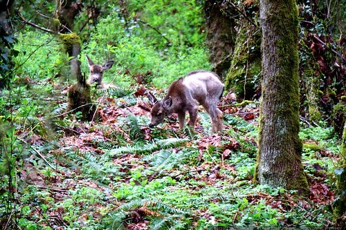 deer having breakfast in our backyard    MG 1147