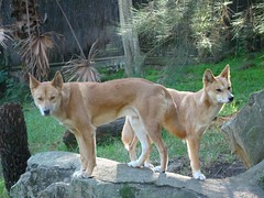 west siberian laika(0.0), czechoslovakian wolfdog(0.0), red wolf(0.0), shikoku(0.0), dhole(0.0), saarloos wolfdog(0.0), kit fox(0.0), dog breed(1.0), animal(1.0), dingo(1.0), dog(1.0), carolina dog(1.0), canaan dog(1.0), pet(1.0), mammal(1.0), finnish spitz(1.0), wolfdog(1.0), norwegian lundehund(1.0),