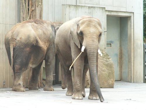 zoo dresden elefant 042