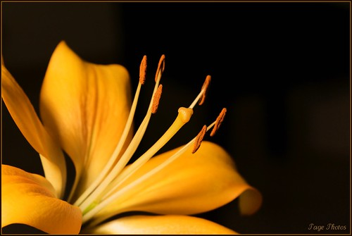 macro gold lily pistil onblack stamin itail canon5dmkii