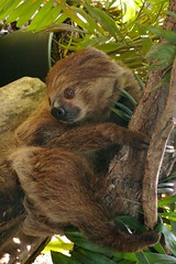 new world monkey(0.0), animal(1.0), three toed sloth(1.0), mammal(1.0), fauna(1.0), wildlife(1.0),