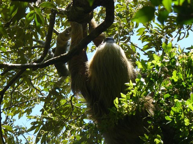 Perezoso fotografiado en Costa Rica