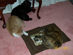 three cats discuss who owns the pootie pad