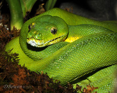 animal, western green mamba, reptile, macro photography, green, fauna, close-up, scaled reptile, wildlife,