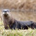 North American River Otter - Photo (c) Dan Dzurisin, some rights reserved (CC BY-NC-ND)