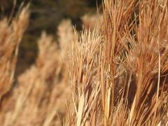 hordeum(0.0), triticale(0.0), rye(0.0), barley(0.0), soil(0.0), wheat(0.0), grass(0.0), food(0.0), phragmites(0.0), prairie(1.0), agriculture(1.0), food grain(1.0), field(1.0), plant(1.0), close-up(1.0), crop(1.0), grassland(1.0),