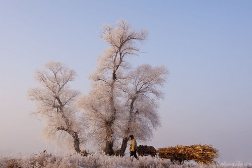 tree pine sunrise bluesky frosty jilin 吉林 wushongisland 雾从岛
