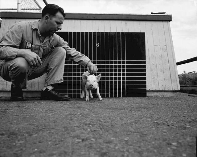 1956 ANIMAL FARM,HANFORD SITE,LITTLE PIGS