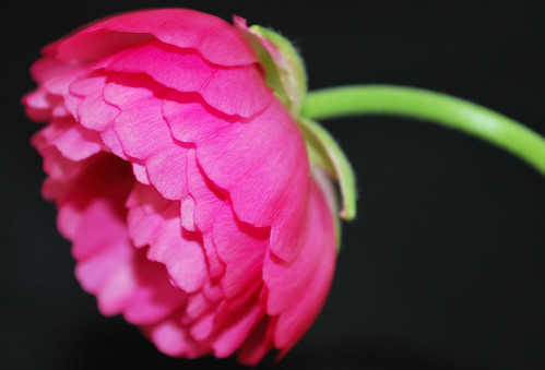 Bright Pink Ranunculus on Black