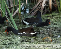 moorhens with chick