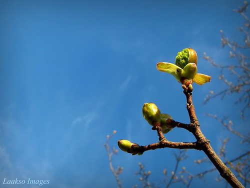 blue sky flower green nature canon suomi finland spring maple maria images sue kerimäki luonto laakso kevät kukka mondayblues canonpowershota710is marialaakso sue323 laaksoimages
