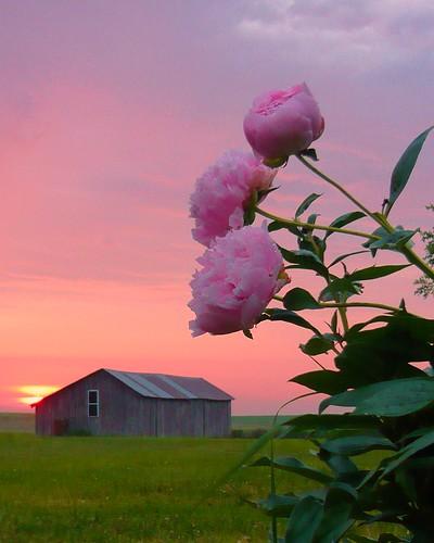 pink barn sunrise farm iowa peony coonrapids whiterockconservancy