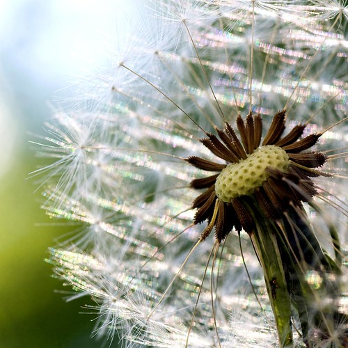 The Cliched Dandelion