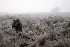 Stump in heath