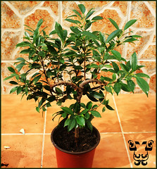 evergreen, shrub, calamondin, branch, tree, plant, houseplant,