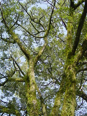 birch(0.0), flower(0.0), grove(0.0), woodland(1.0), deciduous(1.0), branch(1.0), oak(1.0), leaf(1.0), tree(1.0), plant(1.0), green(1.0), trunk(1.0),