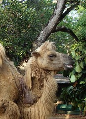 animal, mammal, camel, arabian camel,